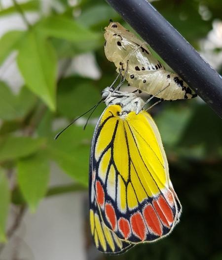 farfalla che emerge dal bozzolo